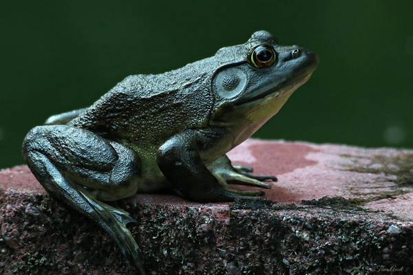 Photograph - Green Frog by Trina Ansel