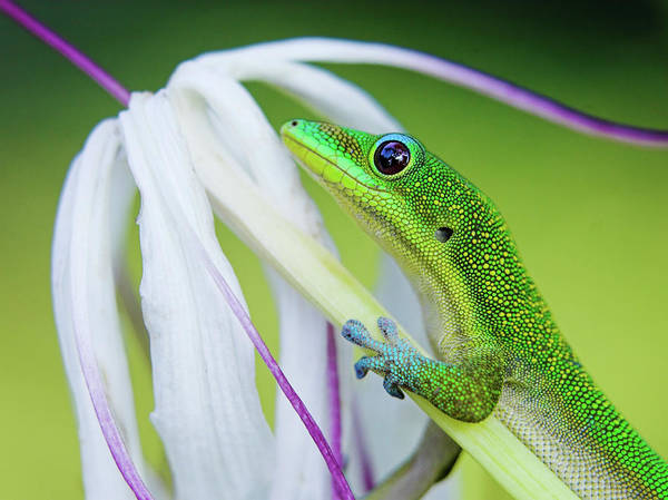 Animal Head Photograph - Green Gecko by Pete Orelup