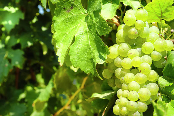 Winemaking Photograph - Green Grapes On The Vine On A Sunny Day by No limit pictures