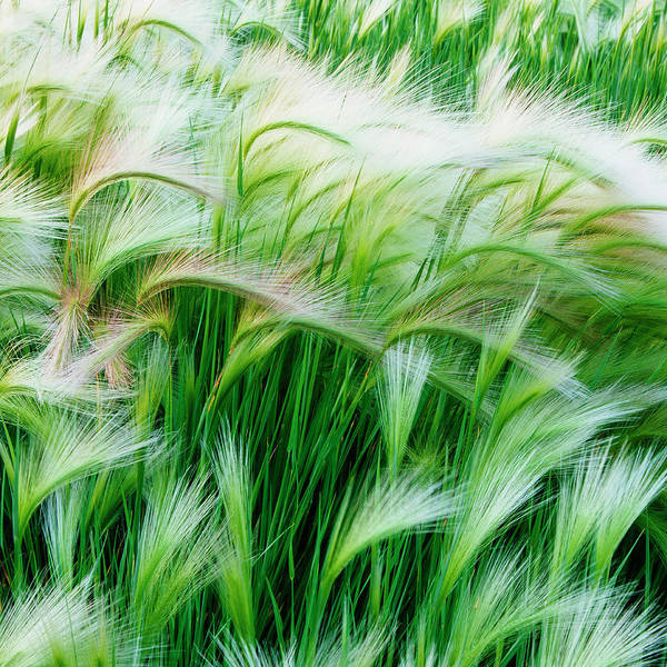 Wall Art - Photograph - Green Grasses Blowing In The Wind,in by Mint Images - Paul Edmondson