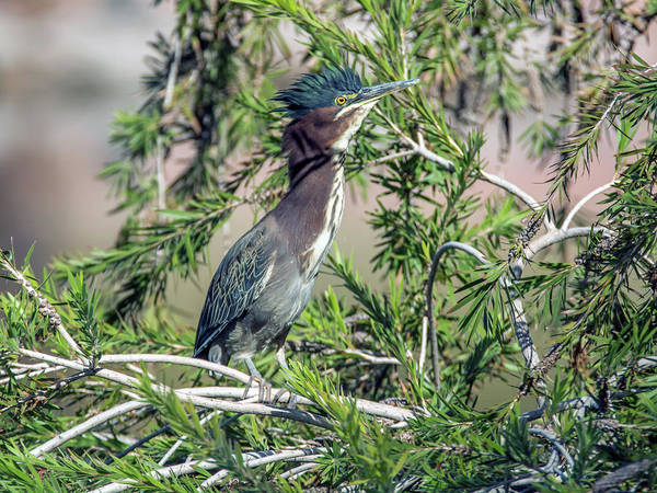 Photograph - Green Heron 0463-111618-1cr by Tam Ryan