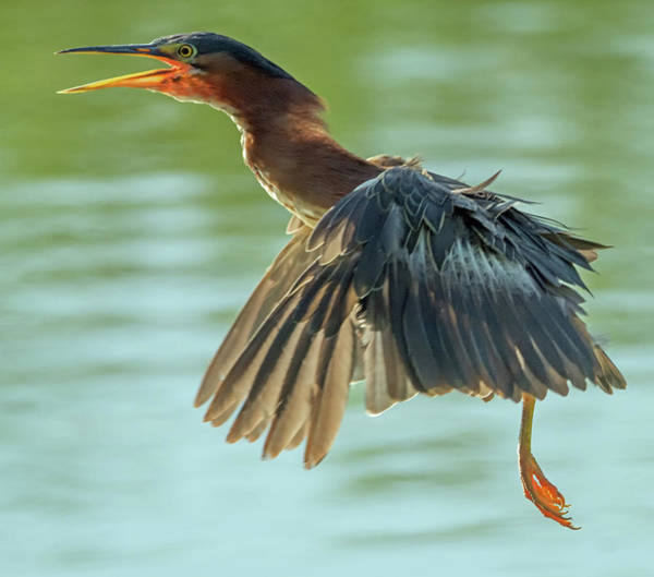 Photograph - Green Heron 6046-081119 by Tam Ryan