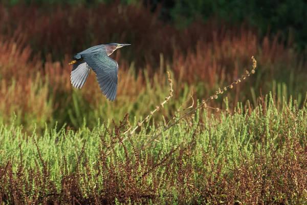 Photograph - Green Heron 6277-061219 by Tam Ryan
