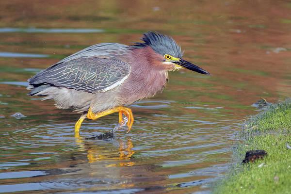 Photograph - Green Heron 6287-061219 by Tam Ryan