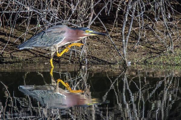 Photograph - Green Heron 6570-061419 by Tam Ryan