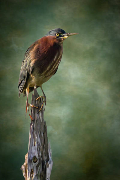 Wall Art - Photograph - Green Heron Artistic Portrait by Dawn Currie