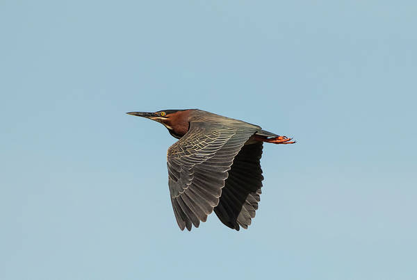 Wall Art - Photograph - Green Heron Flyby by Loree Johnson