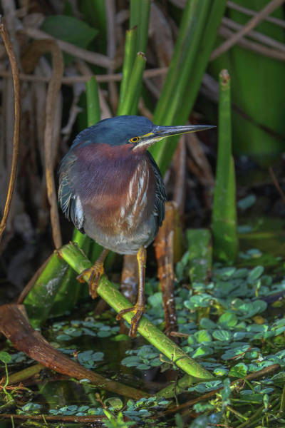 Photograph - Green Heron by Juergen Roth