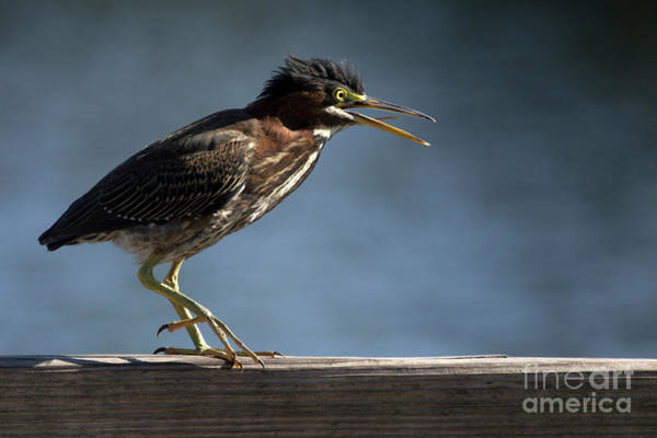 Photograph - Green Heron by Meg Rousher