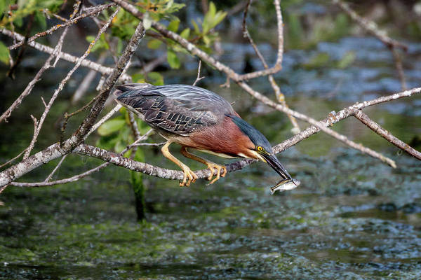 Photograph - Green Heron Minisnack by Wes and Dotty Weber