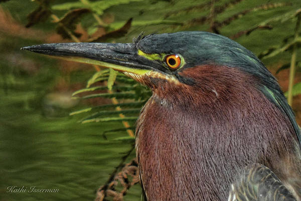 Wall Art - Photograph - Green Heron Portrait by Kathi Isserman