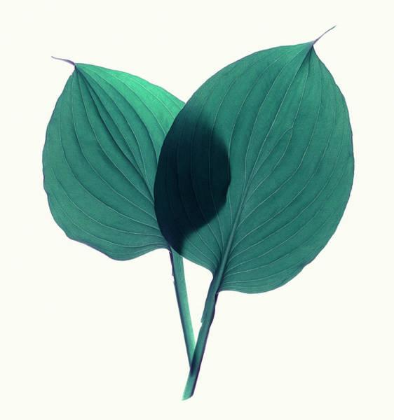 Elegance Photograph - Green Hosta Agavaceae Leaves, Close-up by John Grant