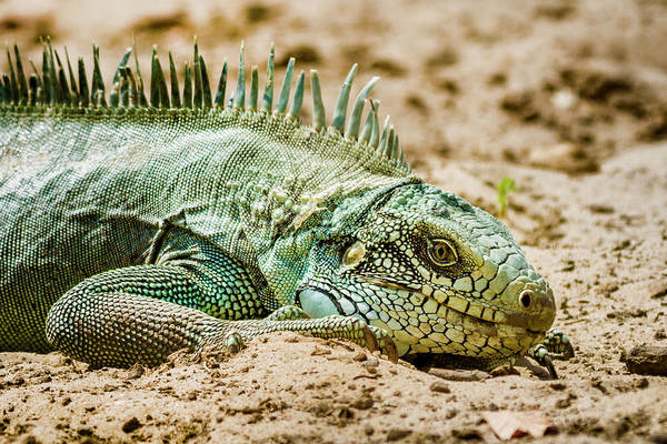 Photograph - Green Iguana Guanapalo Casanare Colombia by Adam Rainoff