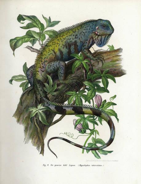 Green Iguana Wall Art - Painting - Green Iguana by Leopold Fitzinger
