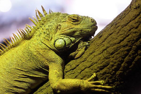 Green Iguana Wall Art - Photograph - Green Iguana Of Nature Park by Victor Estevez