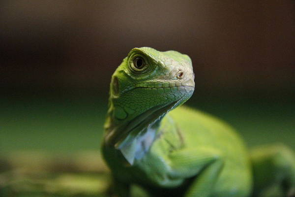 Green Iguana Wall Art - Photograph - Green Iguana by Photographed By  Hannes Steyn