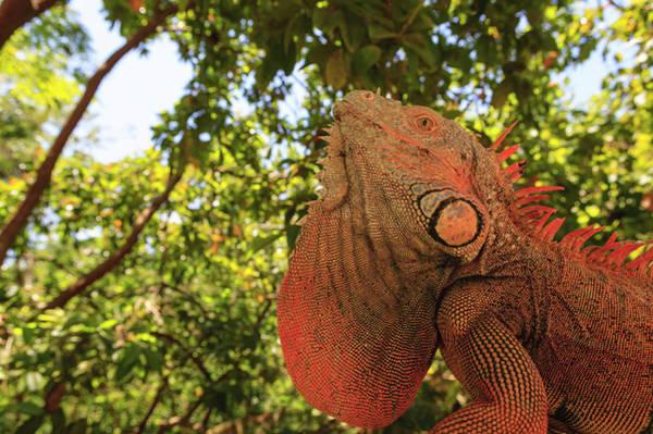 Wall Art - Photograph - Green Iguana, Roatan, Honduras by Stuart Westmorland