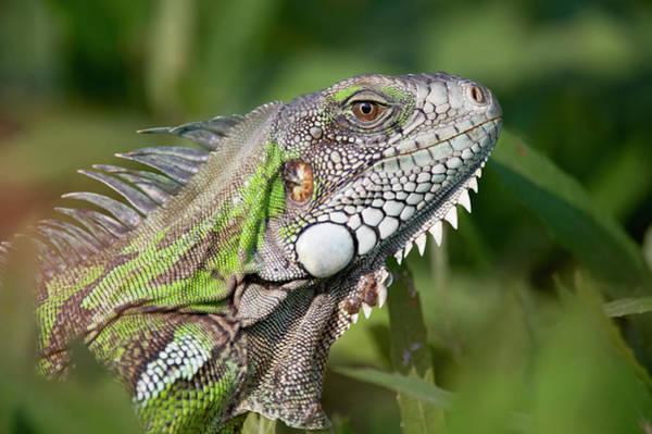 Green Iguana Wall Art - Photograph - Green Iguana, The Pantanal, Brazil by Ben Cranke