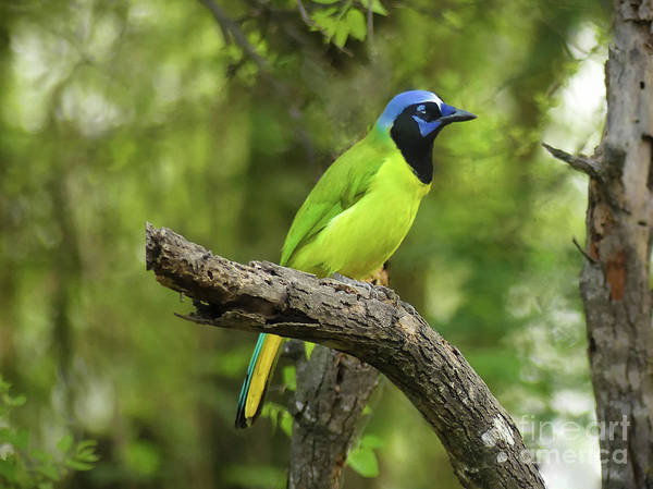 Misson Photograph - Green Jay #5 by Teresa A and Preston S Cole Photography