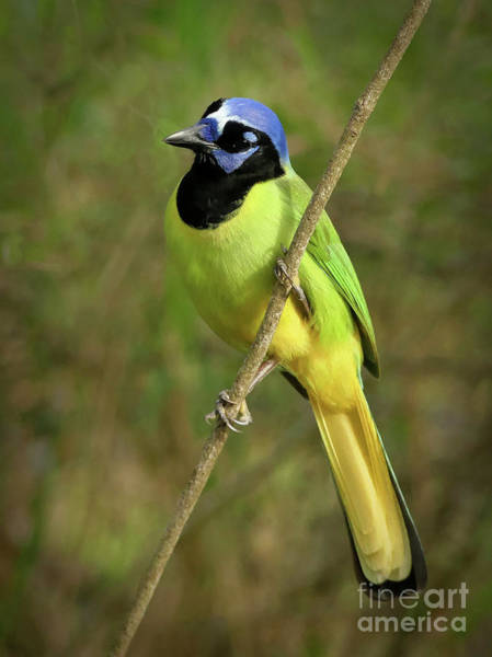 Misson Photograph - Green Jay #6 by Teresa A and Preston S Cole Photography