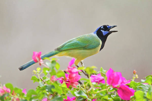 Bougainvillea Photograph - Green Jay Cyanocorax Yncas Adult by Danita Delimont