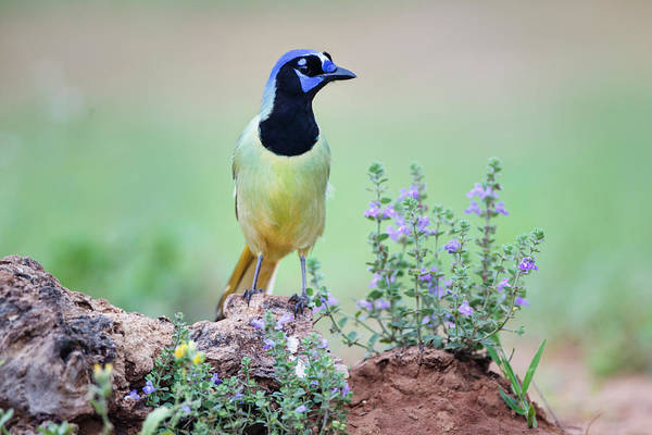 Wall Art - Photograph - Green Jay Perched In Wildflowers by Larry Ditto