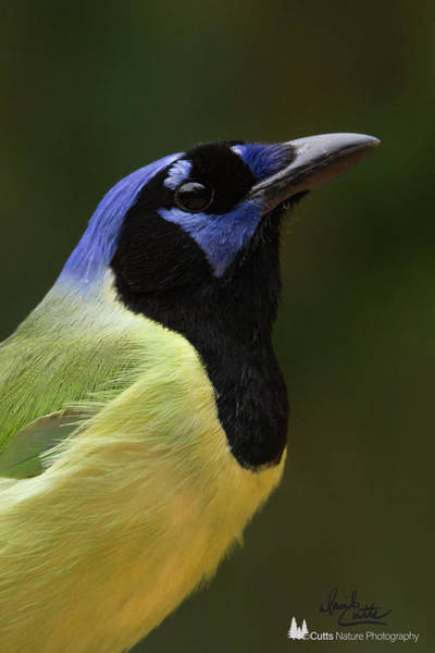 Photograph - Green Jay Portrait by David Cutts