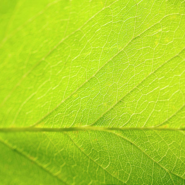 Texture Photograph - Green Leaf As Background by Pixedeli