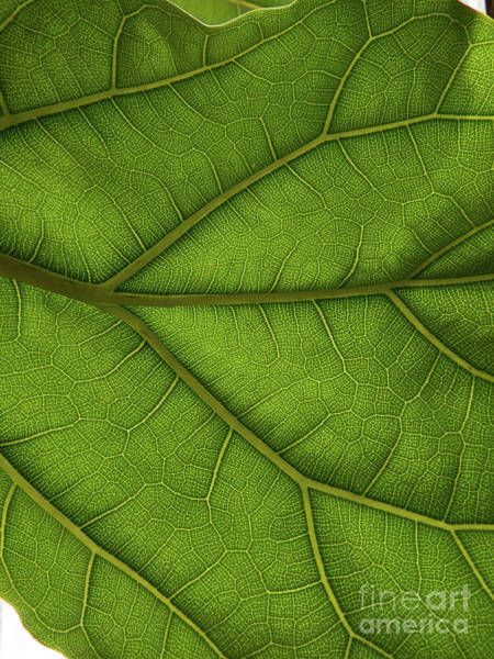 Photograph - Green Leaf by Christy Garavetto