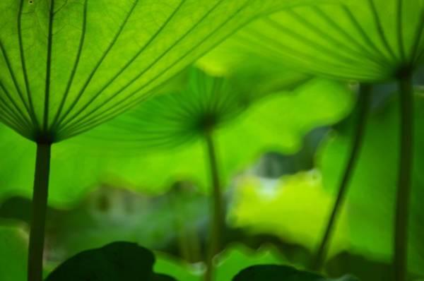 Wall Art - Photograph - Green Lotus Leaves Look Like Umbrellas by Melindachan