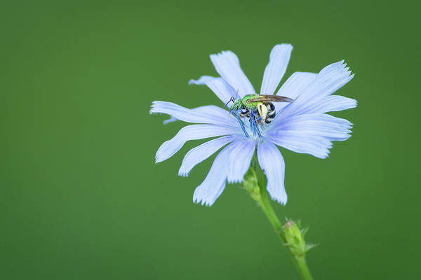 Photograph - Green Metallic Bee On Blue Chicory Flower by Todd Henson