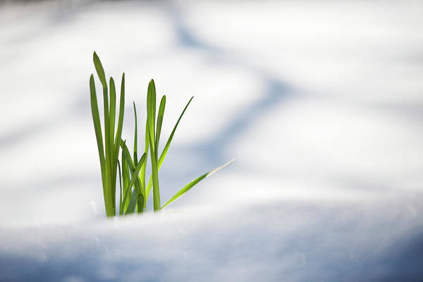 Determination Photograph - Green Plant Pushing Up Through Snow by Jake Wyman