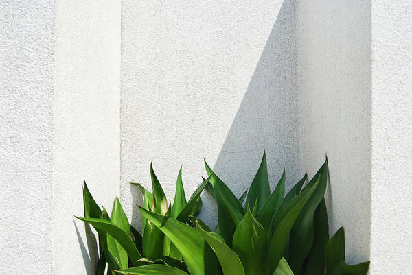 Spider Lily Wall Art - Photograph - Green Plants And White Wall by Lawren
