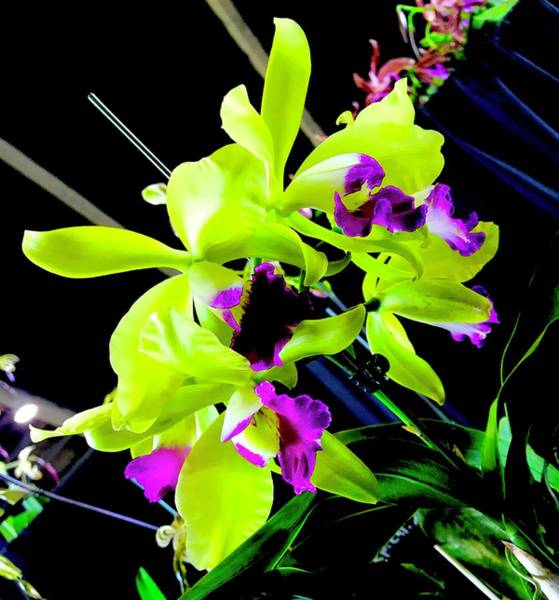 Photograph - Green Purple Orchid Aloha  by Joalene Young