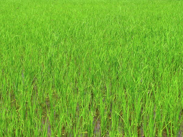 Wall Art - Photograph - Green Rice Paddy Field by Mckay Savage