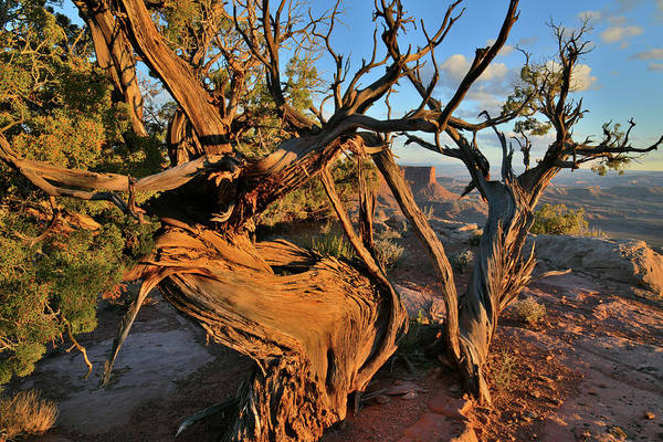 Photograph - Green River Overlook Juniper At Sunset by Ray Mathis