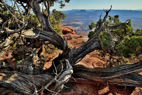 Photograph - Green River Overlook Juniper by Ray Mathis