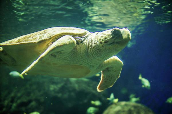 Wall Art - Photograph - Green Sea Turtle by Art Spectrum