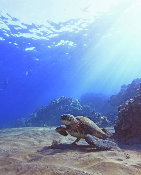 Snorkel Photograph - Green Sea Turtle By Reef by Chris Stankis