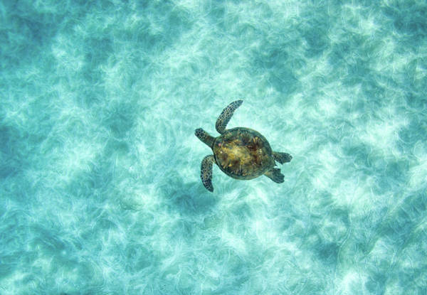Underwater Photograph - Green Sea Turtle In Under Water by M.m. Sweet