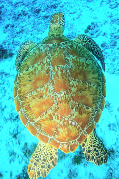 Wall Art - Photograph - Green Sea Turtle, North Huvadhoo Atoll by Stuart Westmorland