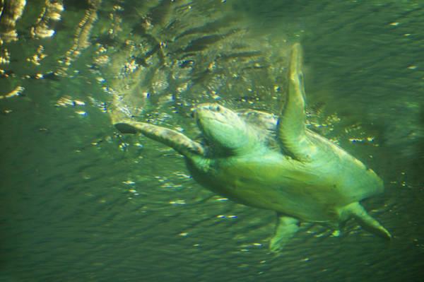 Wall Art - Photograph - Green Sea Turtle Swimming  by Art Spectrum