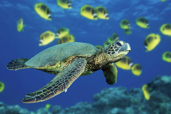 Raccoon Photograph - Green Sea Turtle Swims Past School Of by Jeff Hunter