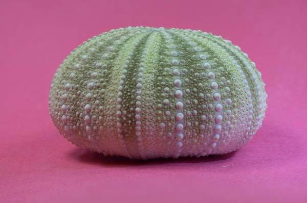 Wall Art - Photograph - Green Sea Urchin Shell by Douglas Barnett