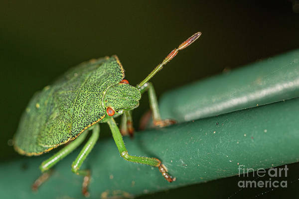 Photograph - Green Shield Bug Nymph. by Brian Roscorla