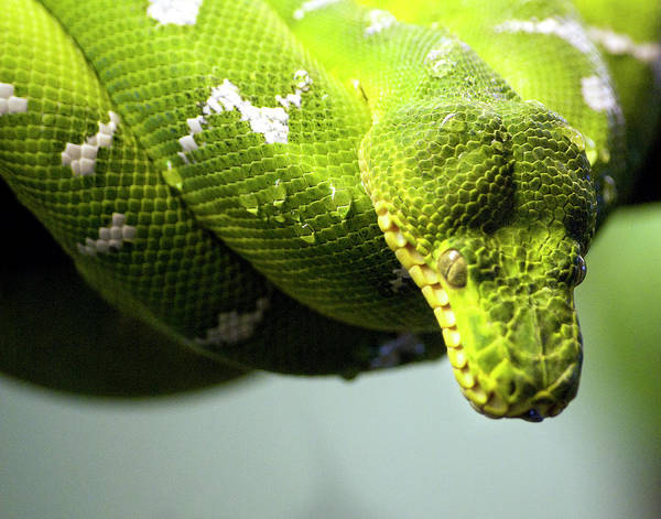 Photograph - Green Snake Curled And Resting by Gail Shotlander