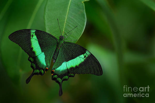 Beautiful Butterfly Photograph - Green Swallowtail Butterfly, Papilio by Ondrej Prosicky