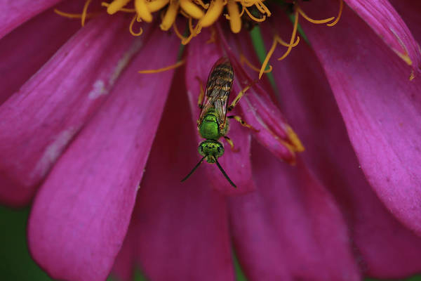 Wall Art - Photograph - Green Sweat Bee by Stamp City