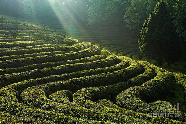 Wall Art - Photograph - Green Tea Field by Tei Kim
