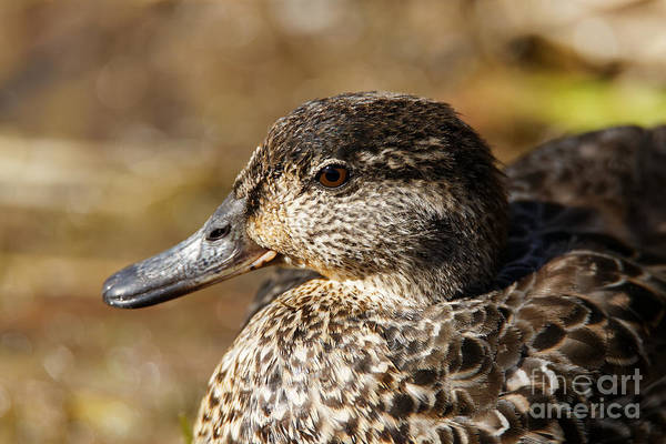 Photograph - Green Teal Duck Portrait by Sue Harper